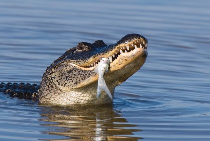 Can Alligators Survive  Years Without Food