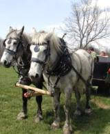 These are Local Historian Brian Turner's horses. He attracts a lot of attention when he uses his horses to plow acres of corn in the Kickapoo valley.
